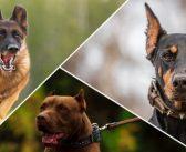 Top 10 cele mai bune rase de caini pentru protectie