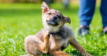 Raia la caini: cauze, simptome si tratament