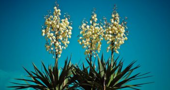 Yucca de grădina: cum se îngrijește pentru o înflorire spectaculoasă